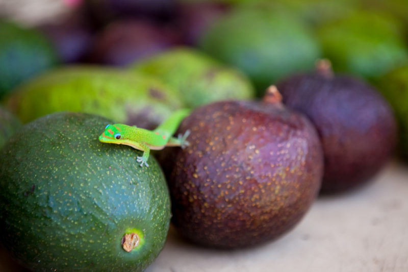 A gold dust day gecko on some avocados.