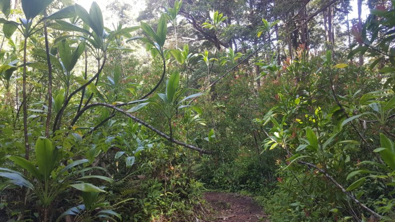 Ti leaves growing wild in Kaunala Trail.