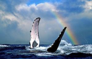 A whale and a rainbow. Photo Credit: Hawaii Tourism Authority (HTA) /Joe West