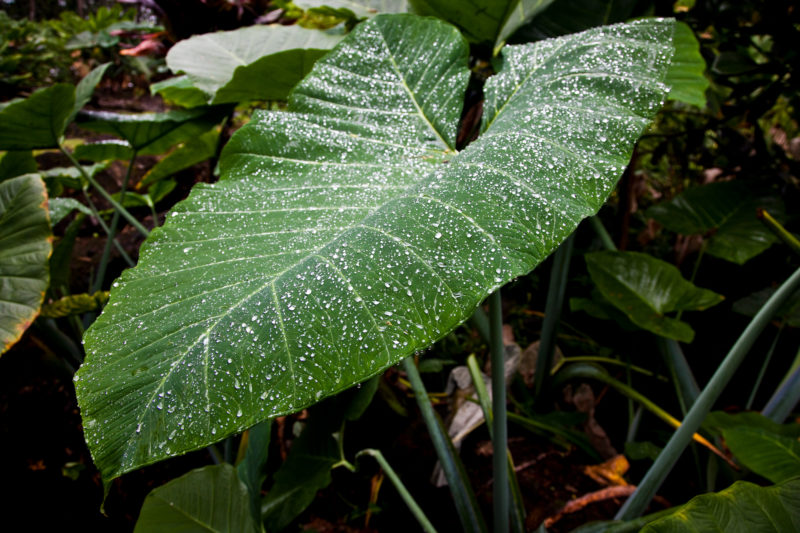 The taro leaves in a taro farm are beautiful especially when covered by the morning's dew.