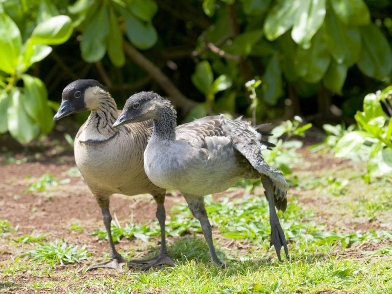 Nene goose with it's fledgling baby.