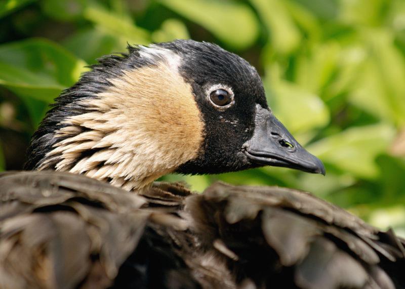 Nene geese are abundant on Kauai.