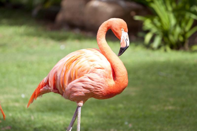 The Honolulu Zoo's American flamingo.