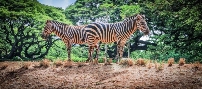 The Honolulu Zoo's zebras eating grass.