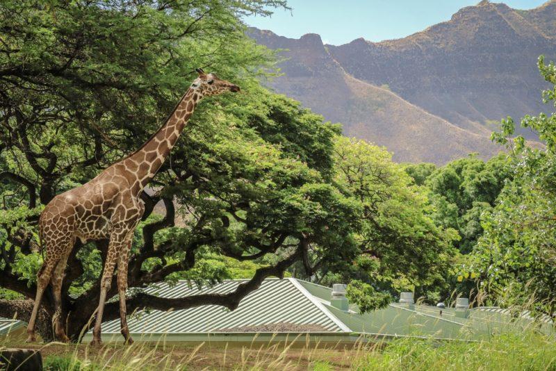 The Honolulu Zoo - Giraffe and Diamond Head.