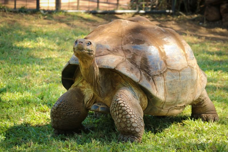 The Honolulu Zoo tortoises have been here for a long time.
