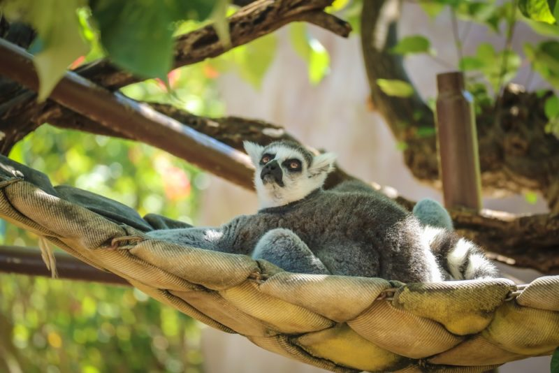 The Honolulu Zoo's ring-tailed lemur.