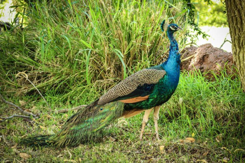 The Honolulu Zoo's peacocks run wild and free.