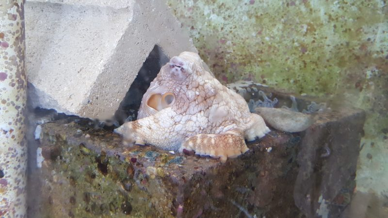 The pet octopus at Coconut Island.