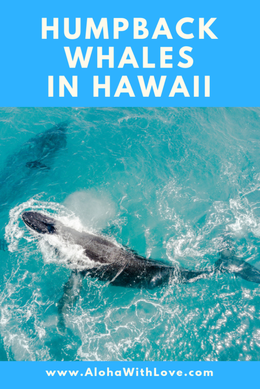 "A Short And Basic Guide For Whale Watching In Hawaii - Best viewing spots, hikes, tours and whale ""voluntour"" opportunities."