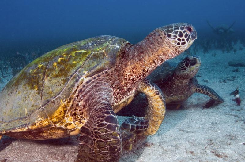 Turtles on Maui
