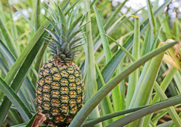 Dole Plantation is the place to learn about the fruit that put Hawaii on the map. Expect pineapples everywhere outside, inside, in the food, on souvenirs and growing everywhere.