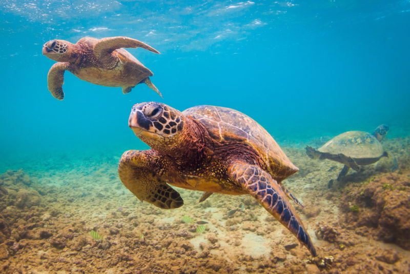 150 Things To Do On Oahu - swim with green sea turtles.