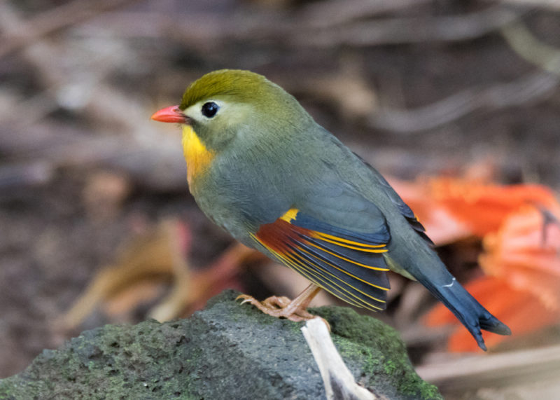 Hoomaluhia Botanical Garden's red-billed leiothrix or Japanese hill robin.