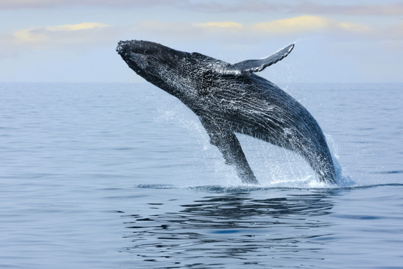 150 Things To Do On Oahu - Hawaii humpback whale breaching.