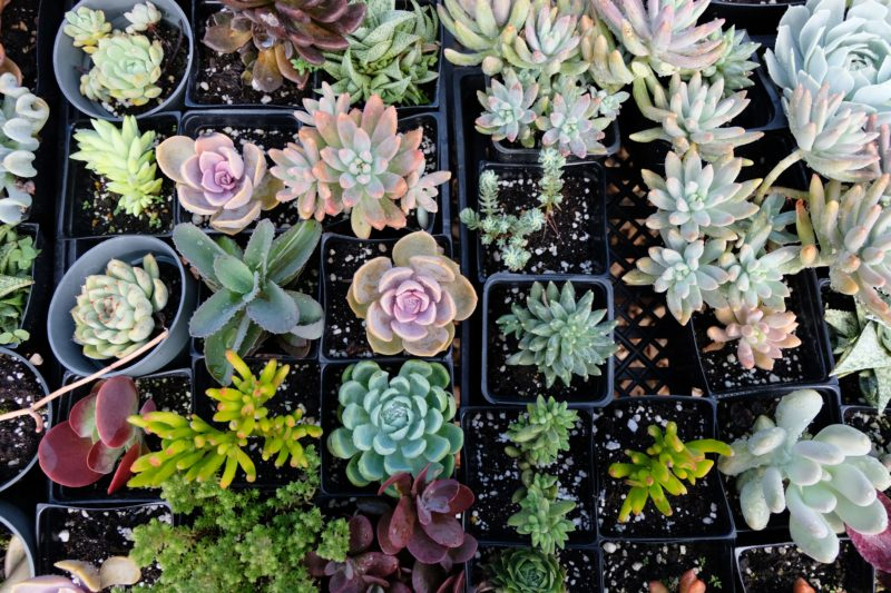 A colorful assortment of succulents that are available for purchase at Mari's Gardens.