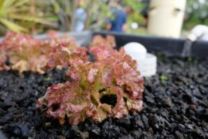 Lettuce growing on a bed of lava rock media in an aquaponic system.