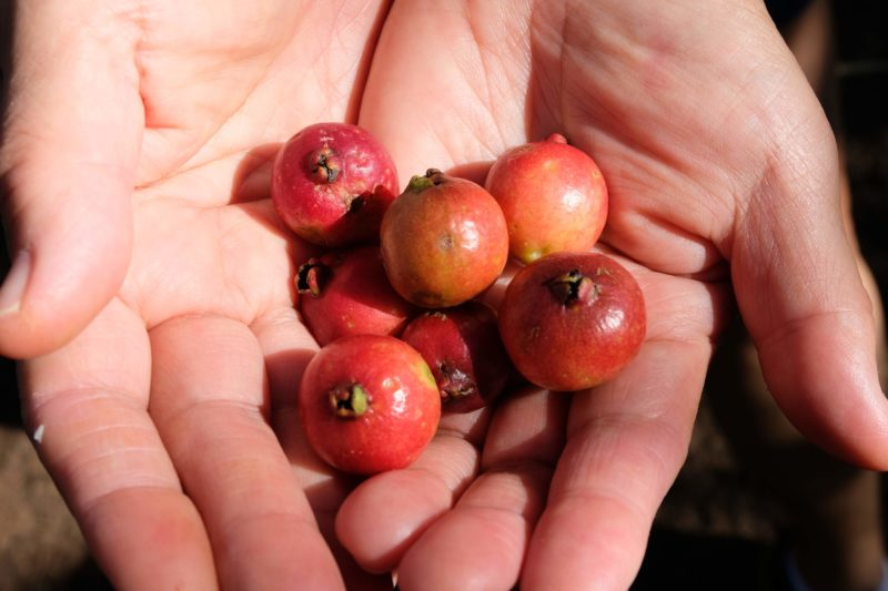 Strawberry guavas were growing on the side of the Manana trail ready to be picked and eaten.