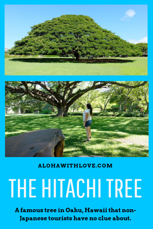 Have you heard about the Hitachi tree in Moanalua Gardens, Oahu, Hawaii? Many Japanese tourists make the trek to these privately-owned gardens to see this magnificent tree. Visit this hidden gem and discover a royal summer home, plenty of beautifully carved wooden furniture and an oasis in central Oahu. - Oahu botanical gardens | Hawaii botanical gardens | Oahu parks | Oahu trees | Oahu budget things to do | Oahu budget | Oahu budget travel | Oahu budget tips | Aloha With Love