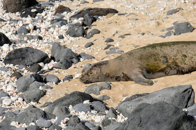 The monk seal of the day was big and molting.