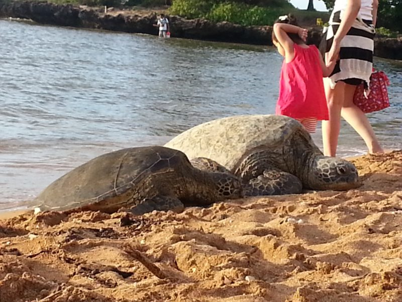 Resting turtles at Haleiwa beach park. The Best Beaches In Oahu's North Shore For Families.