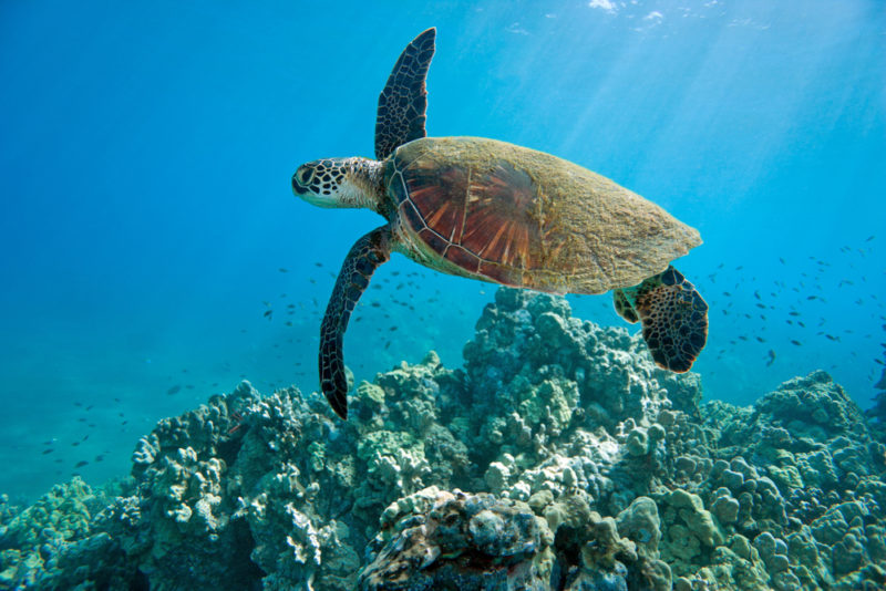 A sea turtle swimming through the waters. The Best Beaches In Oahu's North Shore For Families.