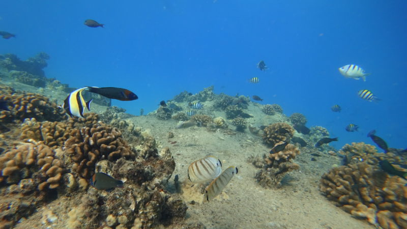 Diving down to get eye level with the fish at Electric Beach, Kahe Point Beach Park