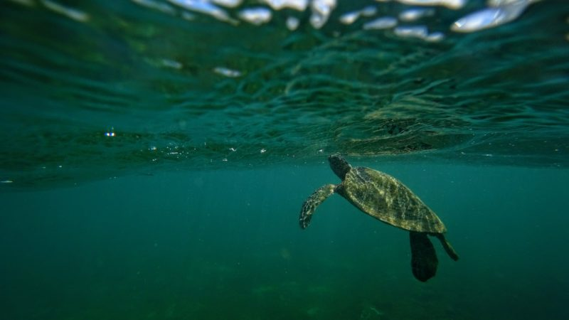 Turtle taking a breath at Aweoweo beach.