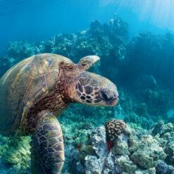 Seat turtle swimming at Waianapanapa State Park on Maui.