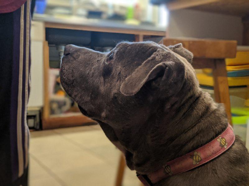 Daisy wanting some roast pork.