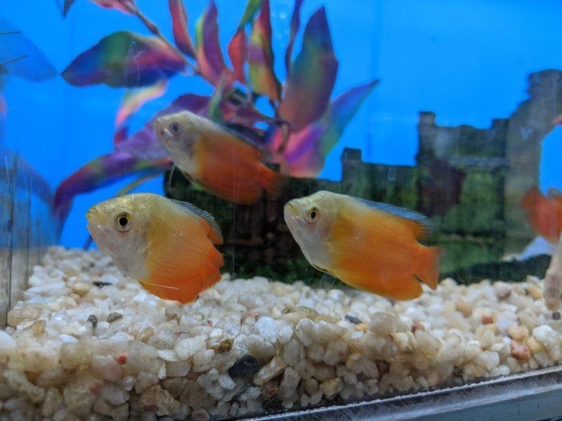 Coral Fish Hawaii freshwater fish.