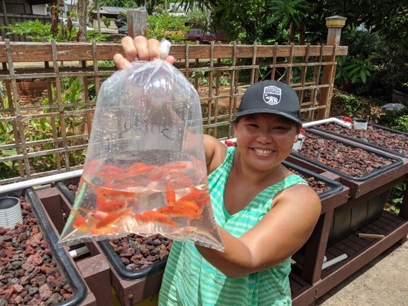 Stocking my aquaponics system with feeder fish.