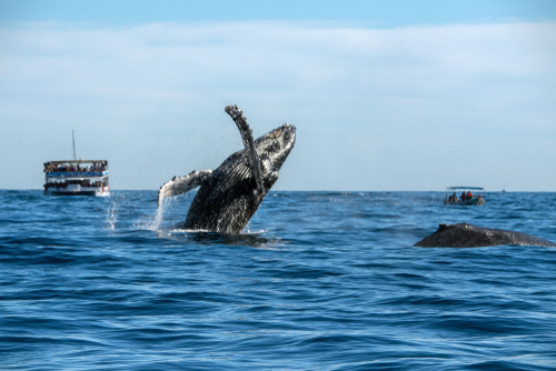 2 humpback whales hang out while whale watching boat spy from behind.