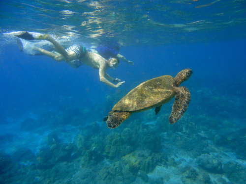 Snorkeling with green sea turtles in Maui, Hawaii. Don't touch and keep your distance!
