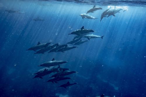 A pod of Hawaiian spinner dolphins near the Big Island of Hawaii.