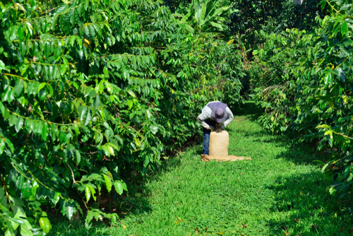 Working in the hot sun harvesting coffee beans on the Big Island of Hawaii.