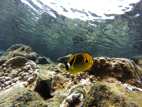 A raccoon butterflyfish swimming in crystal-clear waters of Kealakekua Bay (Captain James Cook Monument).
