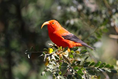 Scarlet honeycreeper in Hosmer Grove Trail in Haleakala National Park.