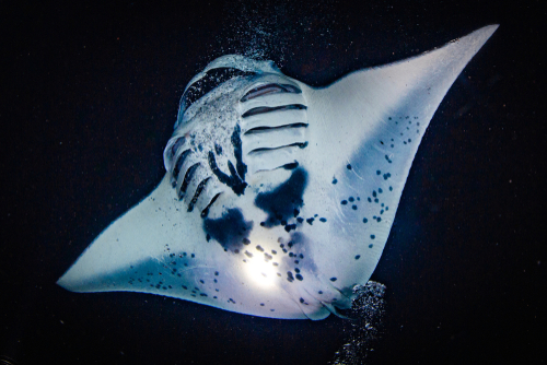 Night diving with manta rays in Kona.