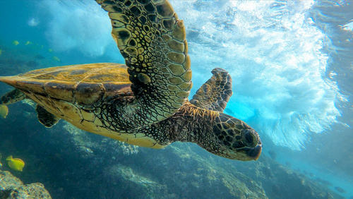 A green sea turtle rides the surf in.