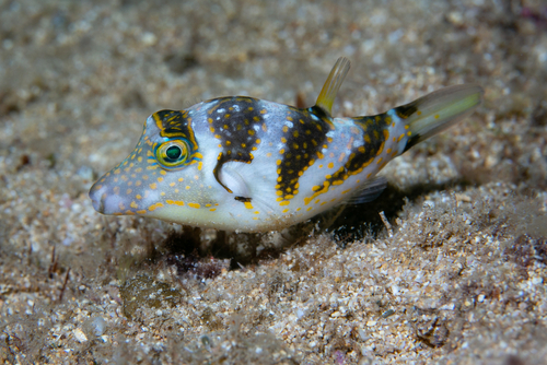 A crown puffer fish on the sea floor.