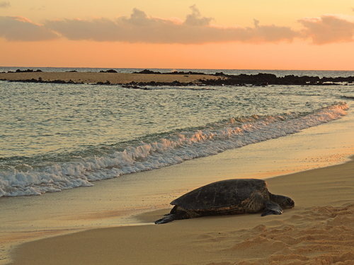 A green sea turtle gets ready for bed on Poipu Beach during sunset.