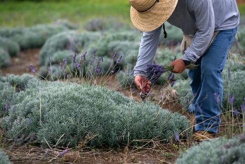 A worker harvests lavender from Alii Kula Lavender Farm in Maui.