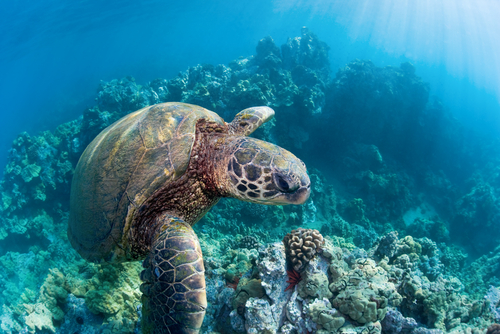 Snorkeling with a green sea turtle in Maui.