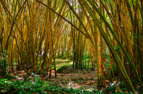 The bamboo forest at Allerton Garden in Kauai is so pleasant to walk through!