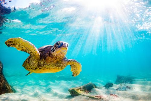 An endangered Hawaiian green sea turtle moseying along.