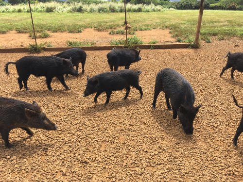 A herd of feral pigs (puaa) at Kilohana.