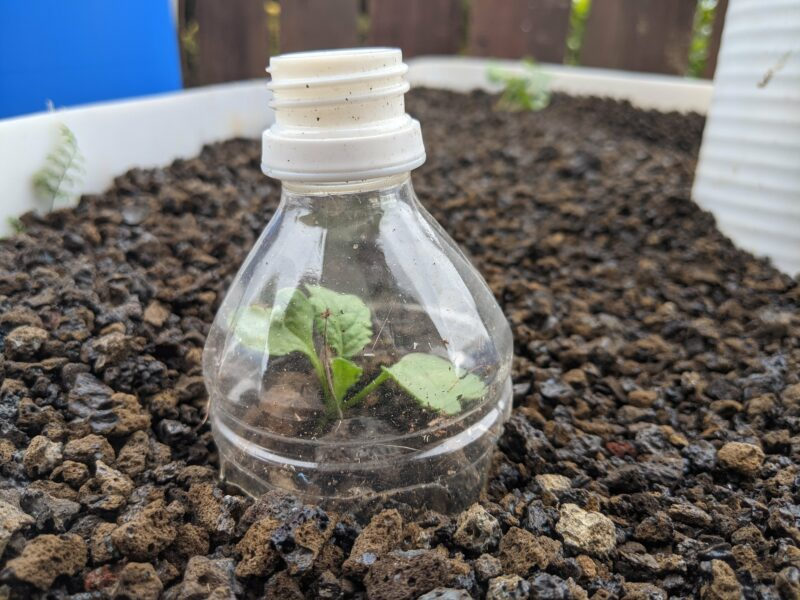 Sprouting daikon leaves in my IBC aquaponics system. I leave the bottle top to block the birds from breaking the leaves off.