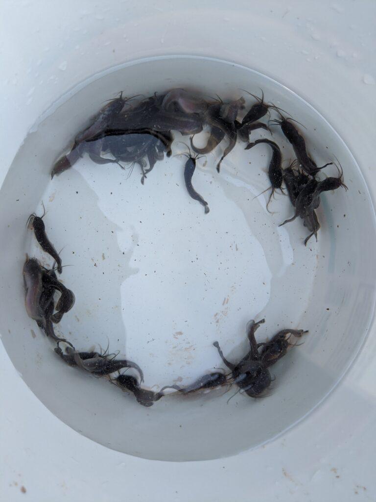 Walking catfish fingerlings in a bucket.