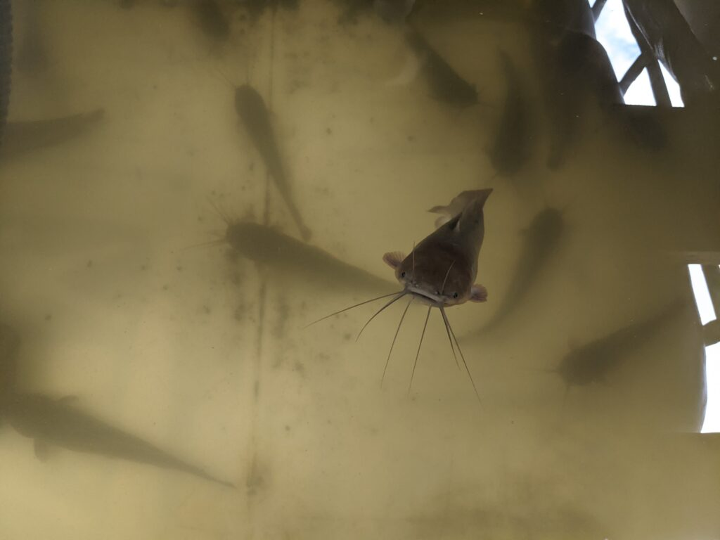 Catfish in IBC aquaponics system are about 8 to 9-inches long.